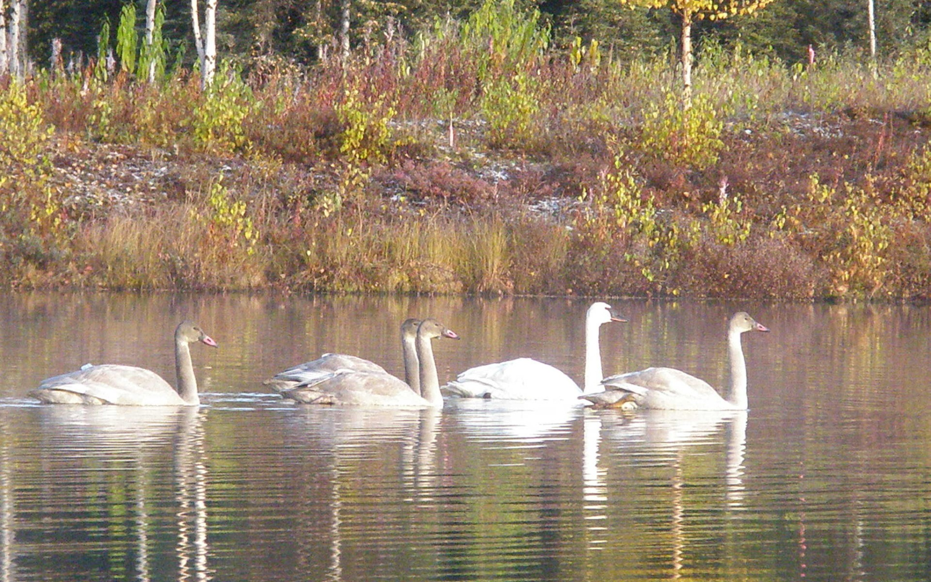 Swans on Lobster lake